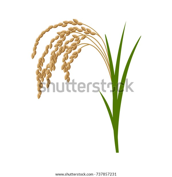 rice plant vector illustration isolated on stock vector royalty free 737857231 https www shutterstock com image vector rice plant vector illustration isolated on 737857231