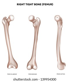 Right tight bone- Femur. Bone of the lower extremity. From above, behind and within. Detailed medical illustration. Isolated on a white background. Bright and clean design.