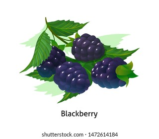 Ripe berries bunch blackberry with stem and leaf. Juicy and fresh berries blackberry realistic forest cartoon vector illustration isolated