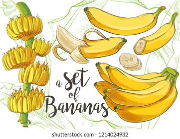 Ripe cluster banana peeled slices isolated on white background. Banana tree with growing bunch, vector watercolor illustration set