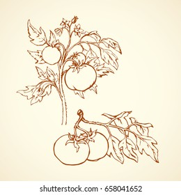 Ripe raw big juicy fresh red tasty solanum tomato on twig isolated on white backdrop. Freehand outline ink hand drawn picture sketchy in vintage art scribble style. Closeup view with space for text