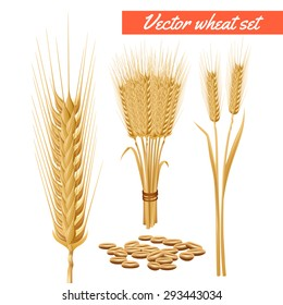 Ripe wheat plant harvested heads and grain decorative and health benefits advertizing poster background abstract vector illustration