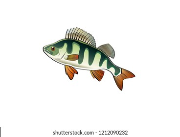 River perch, or common perch (lat. Perca fluviatilis), is a fish of the genus freshwater perch of the perc family (Percidae) of the order perch-shaped (Perciformes).