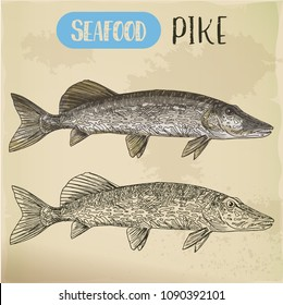 River or sea fish sketch. Hand drawn northern pike of esox. Signboard for store or shop, market or fishing club trophy. Aquatic and nautical, maritime and underwater wildlife or seafood theme