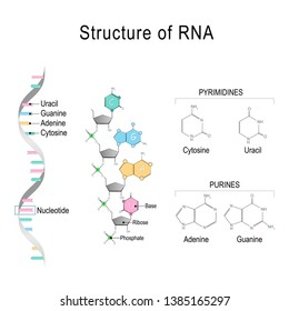 RNA (Ribonucleic acid). structural formula of adenine, cytosine, guanine and uracil. Vector diagram for educational, medical, biological, and scientific use