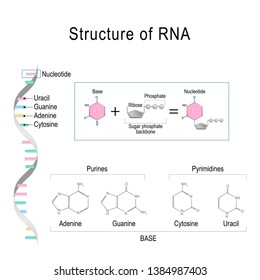 RNA. structural formula of Nucleotide. Vector diagram for educational, medical, biological, and scientific use