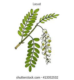 Robinia pseudoacacia, or black locust, false acacia. Hand drawn botanical vector illustration