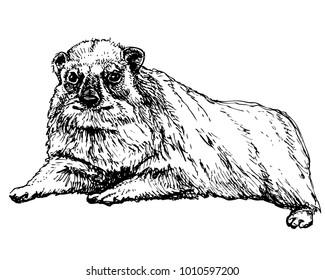 Rock hyrax lying. Ink vector illustration of rock badger