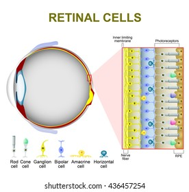 Rod and cone cells. The arrangement of retinal cells is shown in a cross section