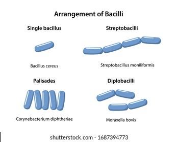 Rod-shaped bacteria morphology. Arrangements of bacilli: single bacillus, diplobacillus, streptobacillus, palisades. Microbiology. Vector illustration in flat style isolated over white background
