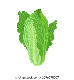 Romaine lettuce vector illustration. Beautiful image isolated on a white background.