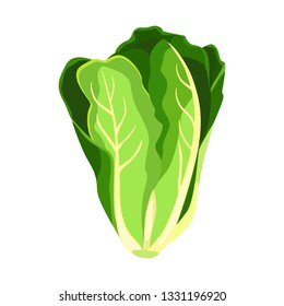 Romaine salad lettuce plant. Nature organic fresh green vegetable leaves. Vegetarian food. Vector illustration isolated on white background