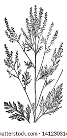 The Roman wormwood or small absinthe is an herb. The species name, artemisiifolia, is given because the leaves were thought to bear a resemblance to the leaves of Artemisia, vintage line drawing