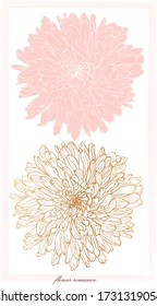 Romantic botanical composition of two chrysanthemum flowers in gold graphics and pink fill ,sketch vector graphic color illustration on white background for postcards, posters, notebooks