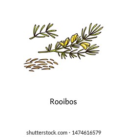Rooibos plant drawing with fresh green leaf and steeps twigs and dried loose tea, simple isolated hand drawn vector illustration of healthy cartoon flower