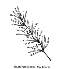 Rooibos tea plant, leaf, flower. Hand drawn ink sketch illustration, lineart. African rooibos tea, hot drink. Herbal tea. Isolated on white background.