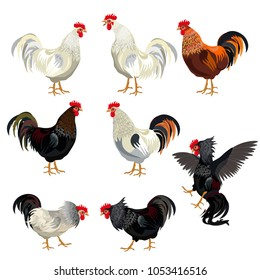 Rooster set. Vector illustration isolated on white background