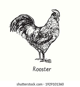 Rooster side view. Ink black and white doodle drawing in woodcut outline style. Vector illustration