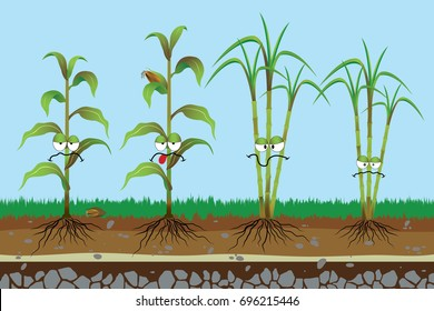 Root rot disease in plants , Corn rotten , Sugarcane rotten , Plant disease