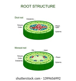 Root structure. monocot and dicot stems. cross sections of plants roots. Vector diagram for educational, biological, and scientific use