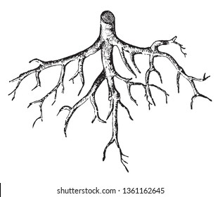 Root systems are vital to the health and longevity of trees. All plants need water, oxygen, and nutrients, vintage line drawing or engraving illustration.