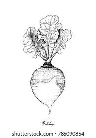 Root and Tuberous Vegetables, Illustration Hand Drawn Sketch of Fresh Rutabaga or Brassica Napus Plants Isolated on White Background.
