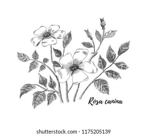 Rosa canina flower drawing. Black and white line art vector illustration. Hand drawn rosehip flowers, leaves and berries sketch, doodle. Botanical poster background.