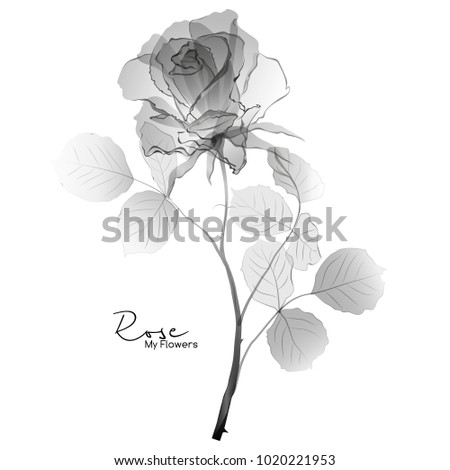 Rose black and white graphic drawing