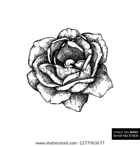 Rose Botanical Illustration Hand Drawn Flower Stock Vector Royalty
