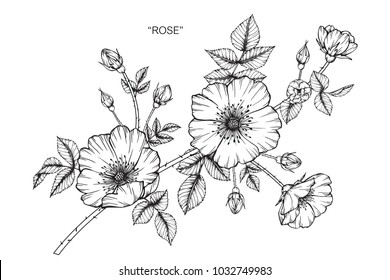 Rose flower drawing  illustration. Black and white with line art.