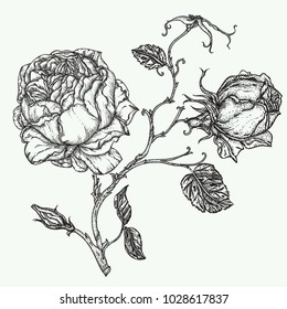 Rose flower engraving vector illustration. Scratch board style imitation. Hand drawn image of outline rose flower isolated on white background. Floral elements in contour style for coloring book.