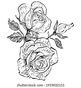 Rose flower. Floral botanical flower. Isolated illustration element. Vector hand drawing wildflower for background, texture, wrapper pattern, frame or border.