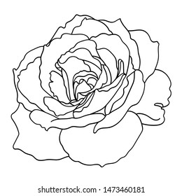 rose flower. Realistic vector illustration of open rose bud. Decorative element for tattoo, greeting card, wedding invitation. Hand drawn sketch