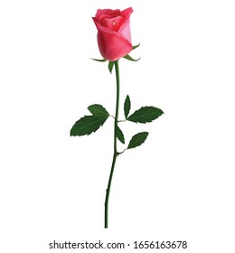 Rose flower vector design, beautiful rose flower art and illustration isolated on white background
