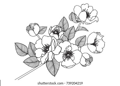 Rose flowers drawing with line-art on white backgrounds.