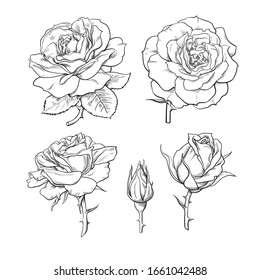 Rose flowers set. Stages of rose blooming from closed bud to fully open flower. Hand drawn sketch style vector illustration isolated on white background.