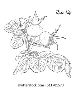 Rose hip. Dog rose. Hawthorne. Wild bush plant branch with ripe berries and leaves. Healthy herb fruit autumn harvest. Detailed black and white outline drawing. Botanical vector design illustration.