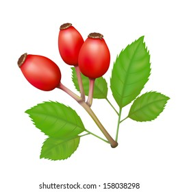Rose Hips with Leafs Vector Isolated Illustration