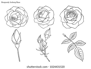 Rose vector set by hand drawing.Beautiful flower on white background.Rose art highly detailed in line art style.Burgundy iceberg rose for wallpaper.