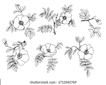 Rosehip  hand-drawing black inkisolated on a white background set. Vector graphics for design, tattoos, wrappers, home decor.