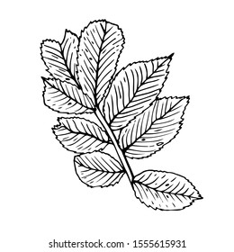Rosehip leaves isolated sketch on white background. Summer fruit engraved style illustration. Detailed hand drawn illustration with leaves of rosehip. Floral element for decor.