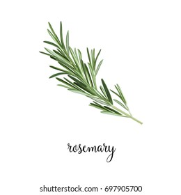 Rosemary branch vector illustration. Art Rosemary