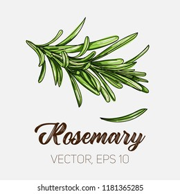 Rosemary, culinary herb, spices isolated on white background, card template, for book, cover, package, label, banner. Hand drawn illustration. Vector, eps 10