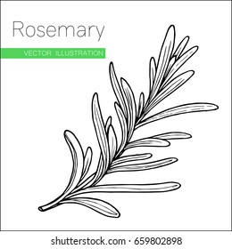 Rosemary hand drawn sketch isolated on white. Vector illustration for label, icon. Organic rosemary product flavor ingredient. Culinary spice herb for cooking, food, medical, gardening design.