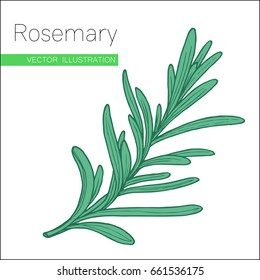 Rosemary hand drawn sketch isolated on white.  Vector illustration for label, icon.  Organic rosemary product flavor ingredient.  Culinary spice herb for cooking, food, medical, gardening design