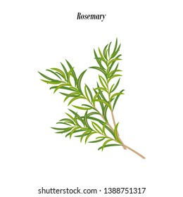 Rosemary herb illustration on the white background. Vector illustration