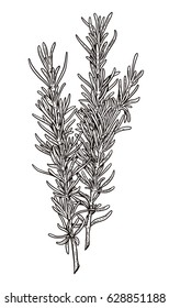 Rosemary illustration, drawing, engraving, ink, line art, vector
