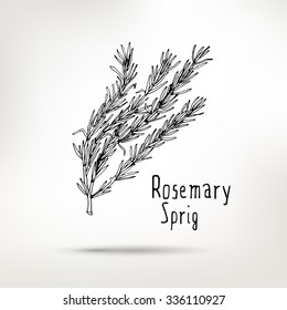 Rosemary ink drawn sprig. Vector healthy food illustration.  Vintage style element for menu design.