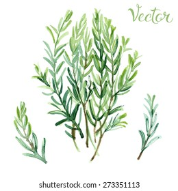 Rosemary painted with watercolors on white background. Vector herbs