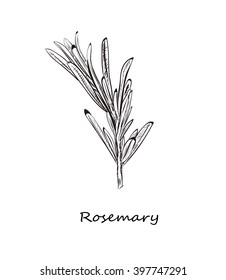 rosemary sketch style vector illustration for your design eps skech razmorin herb image.